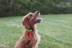 hund-græs