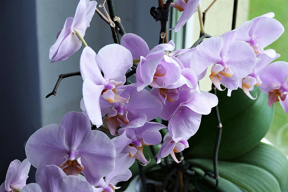 orkide blomst